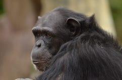 szympansa profil Zdjęcia Stock