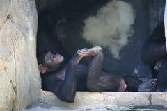 szympansa target222_0_ stary Zdjęcia Royalty Free