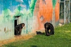 szympansy zdjęcia royalty free