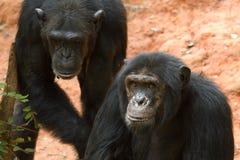 szympansy Fotografia Royalty Free