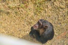 szympansy Obraz Stock