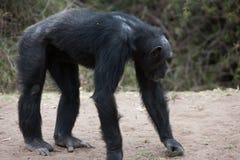 szympansy Zdjęcie Royalty Free
