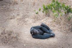 szympansy Obraz Royalty Free