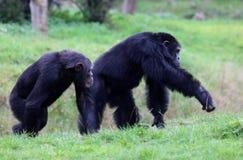 2 szympansy Obrazy Royalty Free