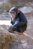 szympansy Obrazy Royalty Free