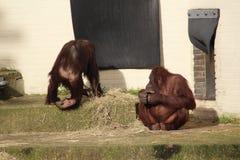 szympansy Obrazy Stock