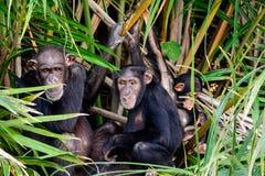 Szympansy chuje w poroślu Obrazy Stock