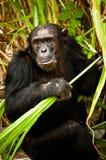 Szympansy iść Dzicy Fotografia Stock