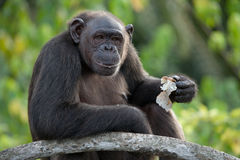 Szympansy jedzą owoc Republika Kongo Conkouati-Douli rezerwa Fotografia Royalty Free