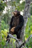 Szympansy jedzą owoc Republika Kongo Conkouati-Douli rezerwa Zdjęcia Stock