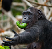 Szympansy jedzą owoc Republika Kongo Conkouati-Douli rezerwa Obrazy Stock
