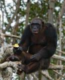 Szympansy jedzą owoc Republika Kongo Conkouati-Douli rezerwa Zdjęcie Royalty Free