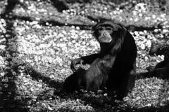 Szympansy małpują czarny i biały zwierzę portrety Fotografia Royalty Free