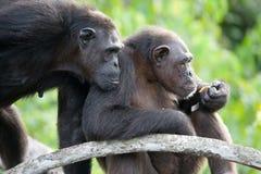 Szympansy na namorzynowych gałąź Republika Kongo Conkouati-Douli rezerwa Obraz Stock