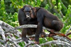 Szympansy na namorzynowych gałąź Republika Kongo Conkouati-Douli rezerwa Fotografia Stock