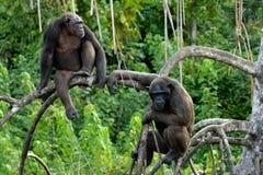Szympansy na namorzynowych gałąź Republika Kongo Conkouati-Douli rezerwa Zdjęcie Royalty Free