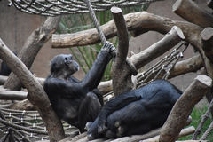 Szympansy Siedzi w słońcu przy zoo Fotografia Royalty Free