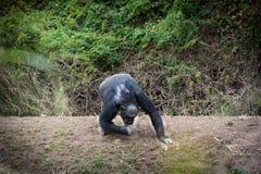 Szympansy w ostatniej wolności? Zdjęcia Royalty Free