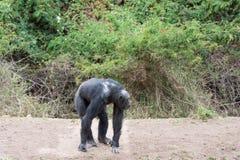 Szympansy w ostatniej wolności? Obrazy Royalty Free
