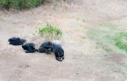 Szympansy w ostatniej wolności? Zdjęcie Stock