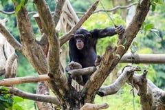 Szympansy w zoo Obrazy Royalty Free