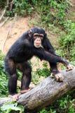 Szympansy w zoo Zdjęcie Stock
