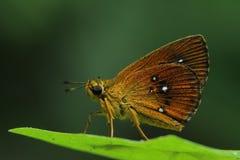 Szypera motyl Zdjęcie Stock