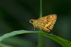 Szypera motyl w Tajlandia Fotografia Royalty Free