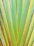 Szypułka wzór Podróżnicza ` s palma Fotografia Royalty Free