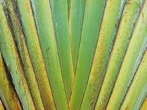 Szypułka wzór Podróżnicza ` s palma Obrazy Stock