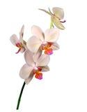 Szypuły piękny hybrydowy storczykowy Phalaenopsis, rozmaitości ` Margarita ` Obrazy Stock