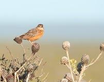 szyszkowa ptak pomarańcze speckeled Zdjęcia Royalty Free