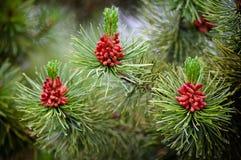 szyszkowy drzewny dziki Obrazy Stock