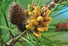 szyszkowy drzewo zdjęcie stock