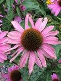 Szyszkowy kwiat Zdjęcia Royalty Free