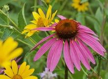 Szyszkowy kwiat i stokrotka Zdjęcie Stock