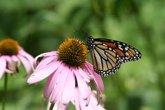 Szyszkowy kwiat z Monarchicznym motylem zdjęcia royalty free