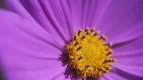 Szyszkowy purpura kwiatu zakończenie up Fotografia Stock