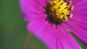 Szyszkowy purpura kwiatu zakończenie up Obraz Royalty Free