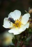 Tábano en la flor Imagen de archivo