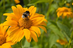 Tábano en la flor Fotos de archivo libres de regalías