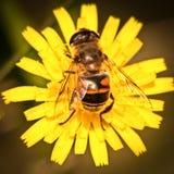 Tábano en una flor amarilla Foto de archivo libre de regalías