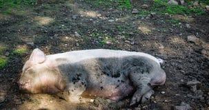 Tão feliz quanto um porco dentro imagens de stock