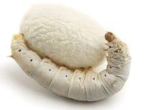 täcka med en plasthinna den silk silkwormen Royaltyfria Foton