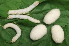 täcka med en plasthinna den silk silkwormen