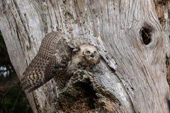 Täcka stora Horned Owl Fledgling Royaltyfria Foton