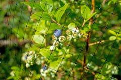Täckande blåbär för skyddande ingrepp Arkivbilder