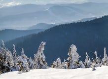 Täckt snö böjde sörjer lite träd i vinterberg archy arkivbild