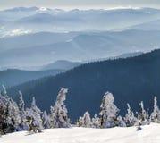 Täckt snö böjde sörjer lite träd i vinterberg archy royaltyfri foto