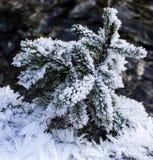 Täckt snö sörjer filialer och iskristaller Arkivfoto